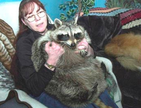 bandit was a raccoon from palmerton pennsylvania who attracted attention after being named the worlds fattest raccoon by the guinness book of world