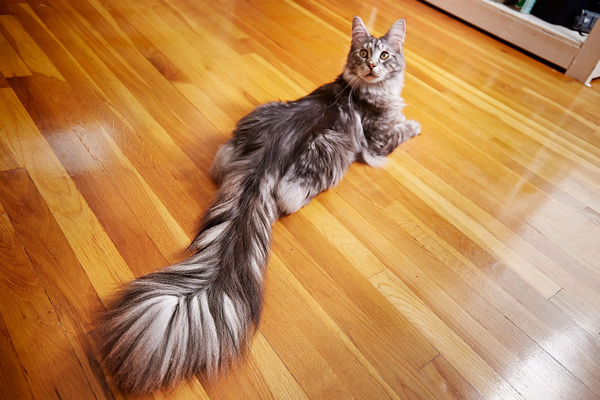 cat_1-long-tail.png