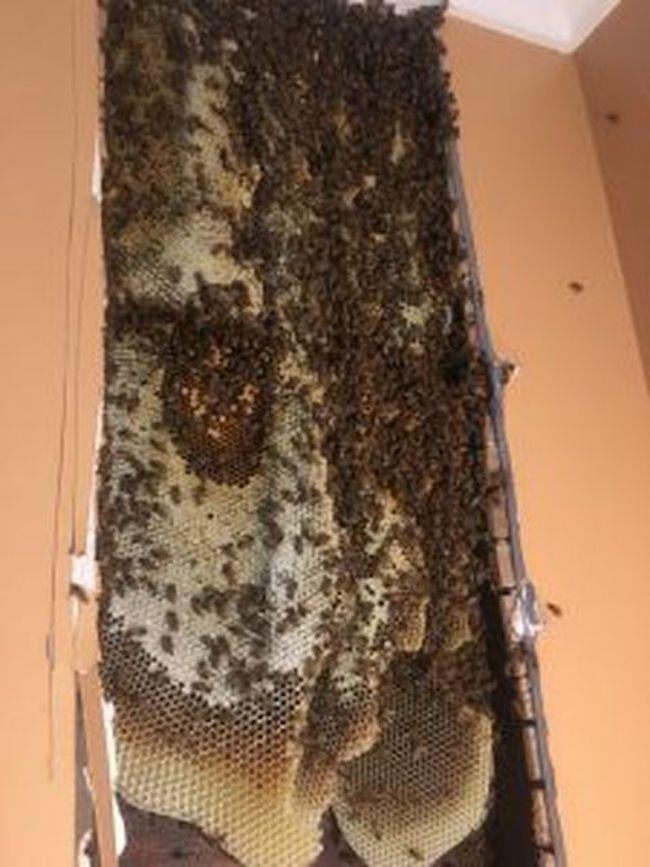 Bees Inside Walls