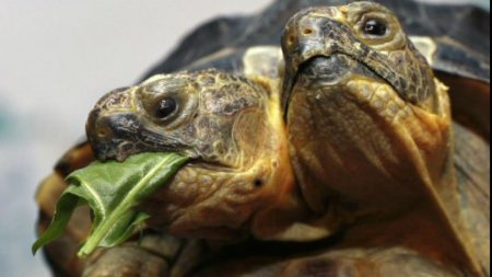 animals with two heads turtle