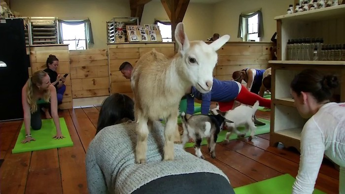 strange workout goat yoga