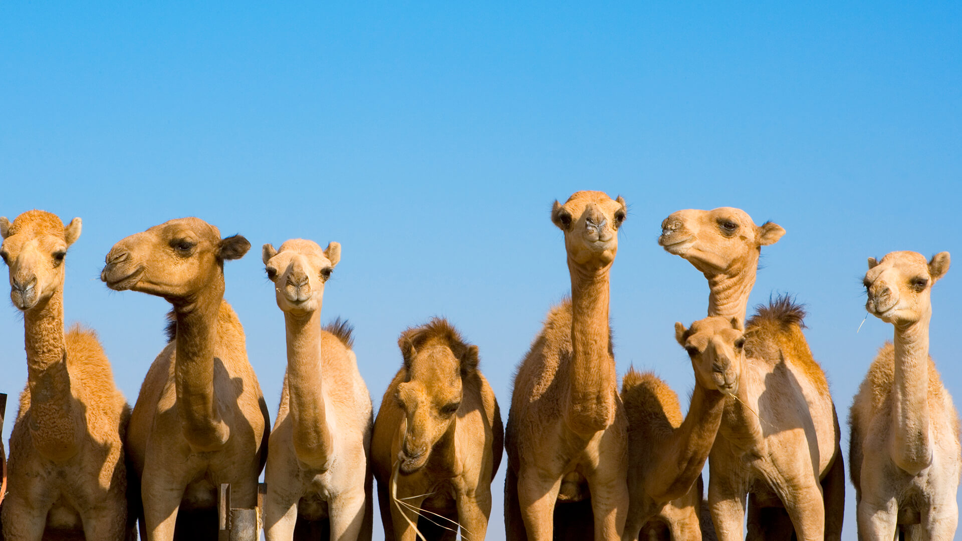 camel humps