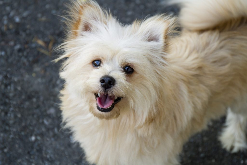You Ve Never Seen These 10 Designer Dog Breeds Oddee