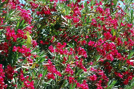 Oleander Is One Of The Most Poisonous All Commonly Grown Garden Plants And Though Its Especially Toxic To Children