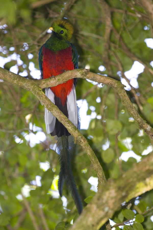 The Resplendent Quetzal Is An Aptly Named Bird That Many Consider Among Worlds Most Beautiful These Vibrantly Colored Animals Live In Mountainous