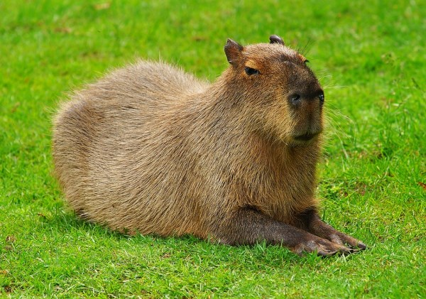 at 112 pounds gary the capybara is the worlds largest pet rodent normally found in south america this cute rodent has been adopted by a couple living in
