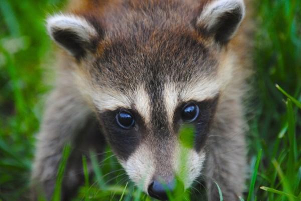 10 Mindblowing Tales of Nails - Oddee Raccoon With No Hair