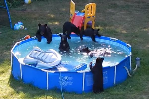 10 crazy bear encounters oddee for Bears in swimming pool new jersey