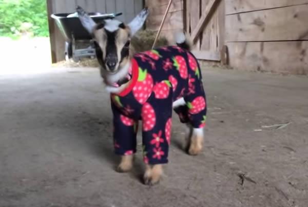 13 Cutest Pets Wearing Sweaters Amp Onesies Oddee